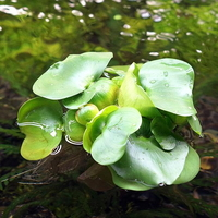 부레옥잠 3뿌리 (부상수초) - (치어은신처 수반)