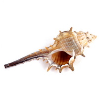 가시 달팽이 소라 - 조개껍질 소라장식품
