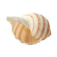 줄무늬 소라 1개 - 조개껍질 어항장식
