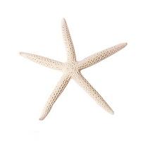하얀 불가사리 1개 (자연산) - 조개껍질 어항장식