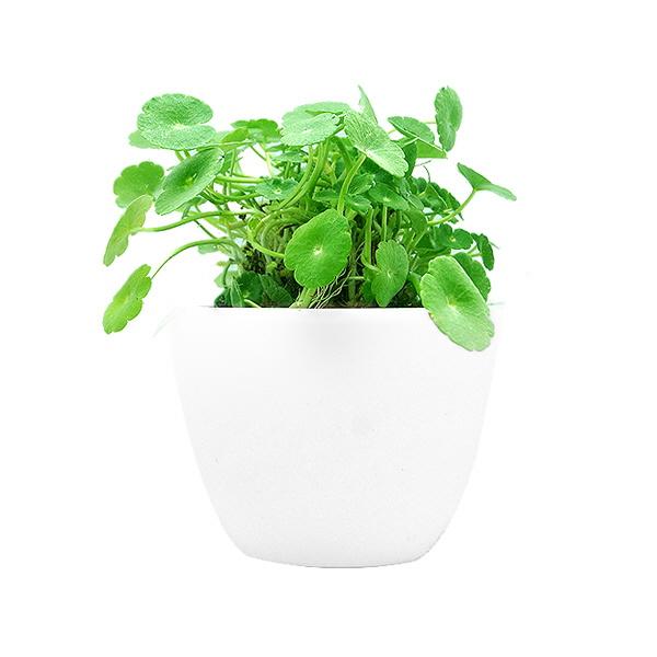 백자기 포트수초 포레스트코인 - (쉬운수초 예쁜수초)