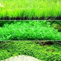 수초)키가낮은 초보자용 전경수초 3종 무균배양